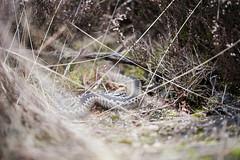 Adder (Vipera berus) (Matthijs Hollanders) Tags: reptile snake viper adder vipera viperaberus berus viperidae europeanadder