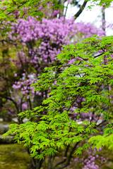 Violet and green (p.fabian) Tags: japan maple jp rhododendron  azalea japn  ahorn kytoshi kytofu japn
