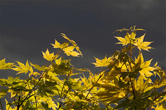 Acer palmatum 'Summer Gold' (blasjaz) Tags: tree bltter baum botanik ahorn blasjaz