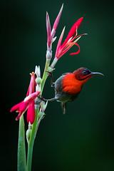 Crimson Sunbird (Frimaire26) Tags: singapore sunbird