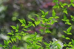 Nandina Domestica (bamboosage) Tags: germany m42 100 28 preset meyeroptik trioplan