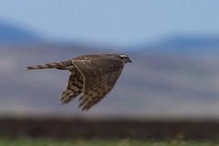 Northern goshawk Accipiter gentilis (obaatargal) Tags:
