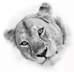 Lion Head 4 (Grete Howard) Tags: golkopjes kopje serengeti tanzania safari safariinafrica bestsafarioperator bestsafaricompany whichsafaricompany whichsafarioperator animals animalphotos animalsofafrica africa africansafari africanbush africananimals animal birds birdwatching birding gamedrive