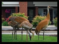 Sandhill Cranes (shannonrossalbers) Tags: birds crane michigan sandhill sandhillcranes shannonrossalbers