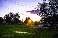 Cambodia Country SUnset (JamieMarie Oaksford) Tags: sunset nature rural landscape nikon asia cambodia southeastasia farm country fields siemreap ricefields ruralscene cambodiacountry siemreapcountryside cambodiasunset nikond7000