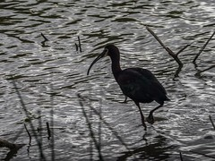 An #ibis wading in the marsh at the #bearriverbirdrefuge . One of my favorite #birds . #olympusomd #Olympus #mirrorless #mirrorlesscamera #bird #avain #wildlife #tnhUSA #flickr #utah #utahgram #utahphotographer (explorediscovershare) Tags: favorite bird birds one utah flickr wildlife olympus an ibis marsh wading avain bearriverbirdrefuge mirrorless utahphotographer mirrorlesscamera instagram olympusomd utahgram tnhusa