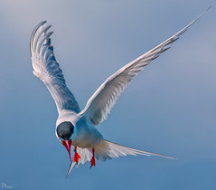 Arctic Tern in flight (Stu115) Tags: wild bird fly flight arctic peck farne tern