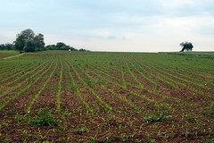 Linien (glaserei) Tags: landwirtschaft natur feld mais grn acker