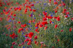 Poppys (Mirek Pruchnicki) Tags: sun flower nature polska poppy województwopodkarpackie trójczyce