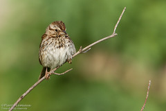 Bruant chanteur / Song Sparrow (Pierre Lemieux) Tags: villedequébec québec canada bruantchanteur songsparrow