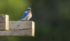 IMG_9153 Male Eastern Bluebird (Wallace River) Tags: bluebird easternbluebird