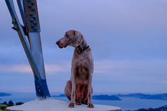 RiSE AboVE iT  (m+m+t) Tags: winter newzealand portrait dog outdoors weimaraner wellington tosh mmt 56mm belmontregionalpark fujimirrorless fujixseries meredithbibersteindesign fujixt1 dscf27221