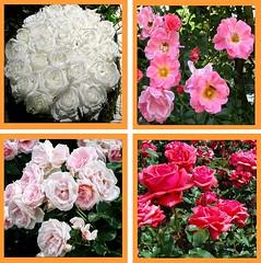 Wo seh ich hin, ist das nicht Gottes Sohn (amras_de) Tags: flower fleur rose flor rosa roos blomma rosen gl blume fiore blte blomst rs rozen virg lore bloem blm iek floro roser kwiat flos ciuri kvet arrosa kukka rozes cvijet vrtnica flouer blth cvet zieds ruusut is trandafir floare rza rua rzsa blome rozo iedas roe rue rosslktet