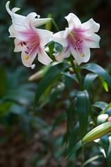 20160618-141129_tokorozawa-lily-garden (t.nanba) Tags: jp