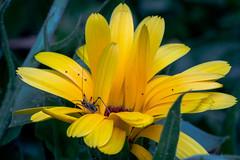 Little Grasshopper... (::nicolas ferrand simonnot::) Tags: paris flower color macro green field yellow vintage insect lens prime little bokeh tube 85mm 15 ap m42 daisy grasshopper 1992 zenit f56 depth blades | ext jupiter9 2016 preset зенит ƒ2 lzos юпитер9 manualrussian