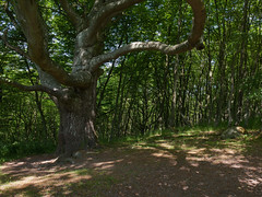 Un grand arbre ... (sosivov) Tags: trees green forest landscape sweden stenshuvud