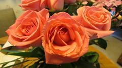 Roses - Westland, Michigan (bigjohn1941) Tags: roses tea michigan hybrid westland
