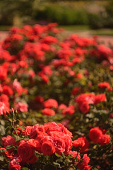 DSC_1740+ (SuzuKaze-photographie) Tags: flowers fleurs nikon lyon bokeh f2 parc swirly helios 442 helios442 d7100 suzukazephotographie