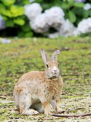 B6250625 (VANILLASKY0607) Tags: rabbit bunny bunnies nature animal japan photo wildlife wildanimal hydrangea rabbits rabbitisland wildrabbit okunoshima