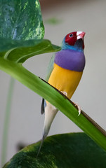 Stephen Jay Gouldian FInch (Jay:Dee) Tags: cambridge butterfly conservatory bird avian gouldian finch erythrura gouldiae