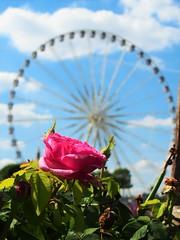 P7060105 (anoukdehaudt) Tags: paris flower rose concorde tuileries