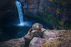 Good Morning, Marmot (West Leigh) Tags: travel cute nature animal waterfall washington northwest dream canyon wanderlust explore experience pacificnorthwest marmot naturalbeauty wander discover palouse canon6d