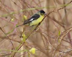 Lesser Goldfinch (Tom Clifton) Tags: lego goldfinch birding pointlobos lessergoldfinch