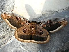 butterfly (jecadim) Tags: butterfly big divčibare