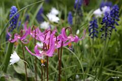 Erythronium dens-canis (Henk M gardenphotoblog) Tags: garden sissinghurst spring tuin nationaltrust lente nimg6426