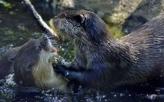 Hello Summer! (_DSC0800) (katalin_kerekes) Tags: water play otter asiansmallclawedotter otterfamily aonyxcinereus smithsoniansnationalzoo