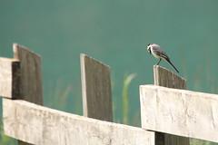 Motacilla alba (Andrea Lugli) Tags: bird sigma os uccelli dg hsm 150500