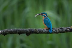 R15_5195 (ronald groenendijk) Tags: holland tree nature netherlands birds europe wildlife vogels natuur kingfisher tak alcedoatthis ijsvogel groenendijk ronaldgroenendijk martinpãªcheur cronaldgroenendijk