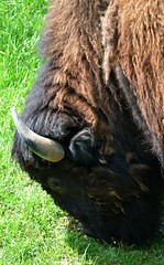 Dogwood Canyon Nature Park (Adventurer Dustin Holmes) Tags: animal animals mammal buffalo arkansas bison bovidae bovinae herbivores mammals ozarks animalia mammalia herbivore 2015 eventoedungulates chordata eutheria eventoedungulate artiodactyla americanbuffalo dogwoodcanyon dogwoodcanyonnaturepark