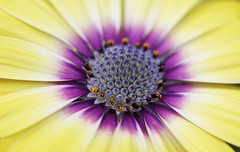 Close up of Osteospernum Flower (paulafrenchp) Tags: