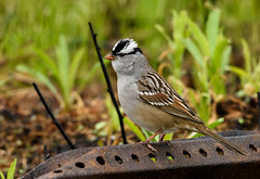 White-crowned Sparrow (snooker2009) Tags: bird fall nature spring pennsylvania wildlife sparrow migration whitecrowned