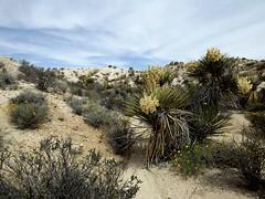 Yucca (h willome) Tags: california desert hiking joshuatree wildflowers joshuatreenationalpark 2016 cottonwoodsprings