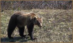 GrizzlyBear_6D_0500 (CrzyCnuk) Tags: canada canon wildlife alberta banff grizzly grizzlybear canon6d