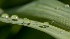 Un petit coucou! ;-) (S@ndrine42) Tags: leaves dof drop droplet feuille gouttedeau nelsandrine