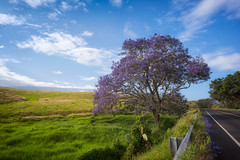 Jacaranda Tree (digital_AM) Tags: road trip morning tree sunrise landscape drive purple maui haleakala jacaranda