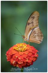 Julia Butterfly (Jeffrey Johnson ~~shutter_fringe) Tags: flowers macro colors butterfly insect wings nikon butterflies micro brightcolors juliabutterfly nikond500 nikon105micro
