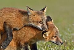 DB6_8936 (DouglasJB) Tags: bunny nature animals cuddly fields foxes yawning redfox cuteanimals djbphotocom nikonafsnikkor300mmf28gedvrii