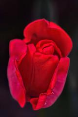 IMG_9748tzl1scTBbLGE3 (ultravivid imaging) Tags: flower canon colorful vivid imaging ultra ultravivid canon40d ultravividimaging