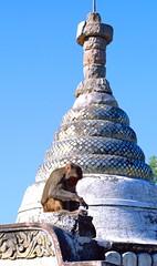 MYANMAR MONKEY (patrick555666751) Tags: animal monkey asia burma south du east myanmar asie animali sud est singe birmanie myanmarmonkey