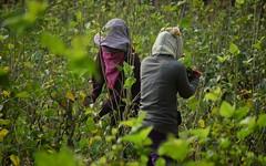 Silk Farming, Cambodia (james.mason01) Tags: travel green workers women asia cambodia farm silk explore