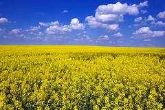 (kinga.lubawa) Tags: colors canon spring kwiaty wiosna kwiat kolory rzepak kolorowe soneczny sonecznie canon6d