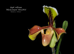 Paph. villosum 'Black Canyon' HCC/AOS (Orchidelique) Tags: plant orchid flower nature exotic species paph blackcanyon paphiopedilum hcc aos villosum ncos woodstreamorchids ncjc