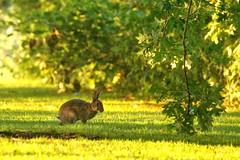 Rabbit in the sunlight (jillyspoon) Tags: rabbit bunny canon eos 70d canon70d canon70s