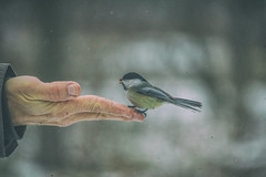 Feeding A Black-capped Chickadee (A Great Capture) Tags: winter snow toronto ontario canada man blur bird beach nature person james bay photographer hand martin feeding bokeh outdoor wildlife fingers great canadian trail chickadee beaches feed mitchell woodbine february capture on the goodman lhiver agc 2016 ashbridges ald a animalkingdomelite ash2276 adjm wwwagreatcapturecom mobilejay