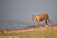 Bengal Tigress 'Sonam' at Telia Lake (Robbert met dubbel B) Tags: park india lake nature photography wildlife indian tiger natuur safari national april np bengal tigress 2016 sonam telia nationaal wildlifephotography tadoba andhari bengaalse tijgerin wildfotografie teliya