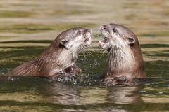 Playfighting (greenzowie) Tags: animal mammal zoo edinburgh otter edinburghzoo 2016 photographyworkshop greenzowie